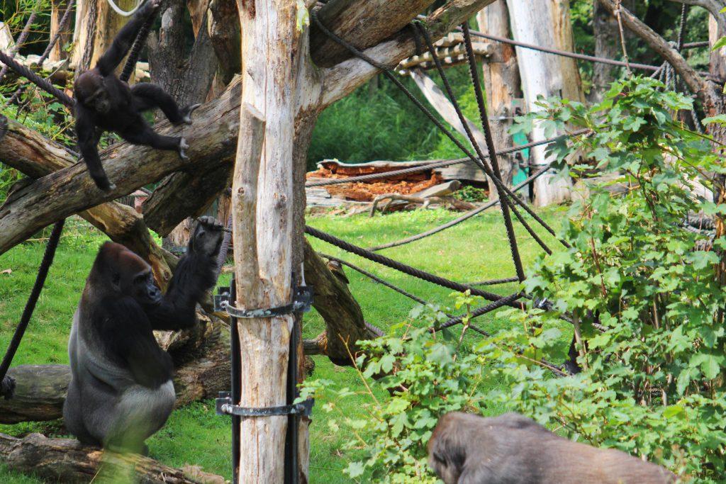 Info Shymkent made gorilla family picture.