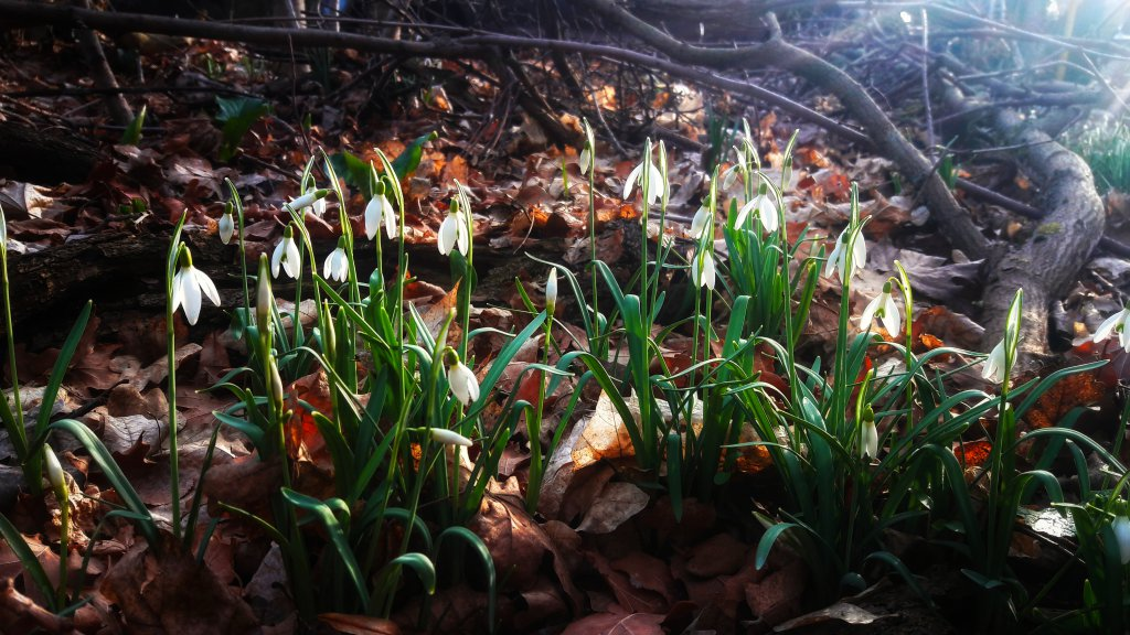 Info Shymkent - Snowdrops in the early spring days