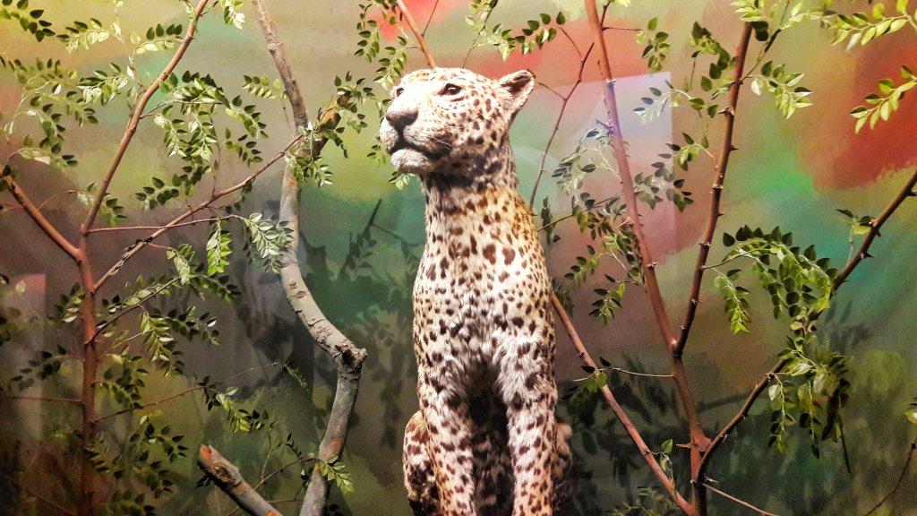 Info Shymkent - Taxidermy Leopard.