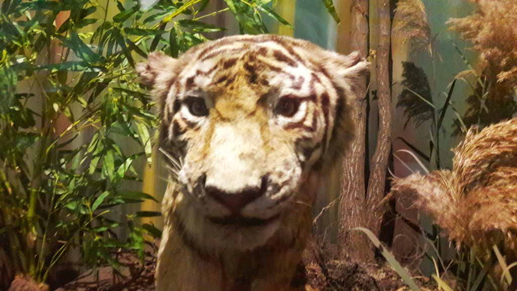Info Shymkent - Looking into the eyes of a Tiger.