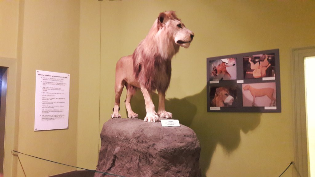 Info Shymkent - Lion in Naturkundemuseum.