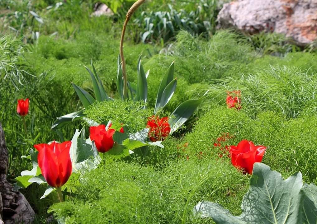 Info Shymkent - Wild tulips during spring in south Kazakhstan.