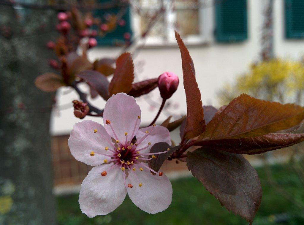 Info Shymkent - Cherry Blossom