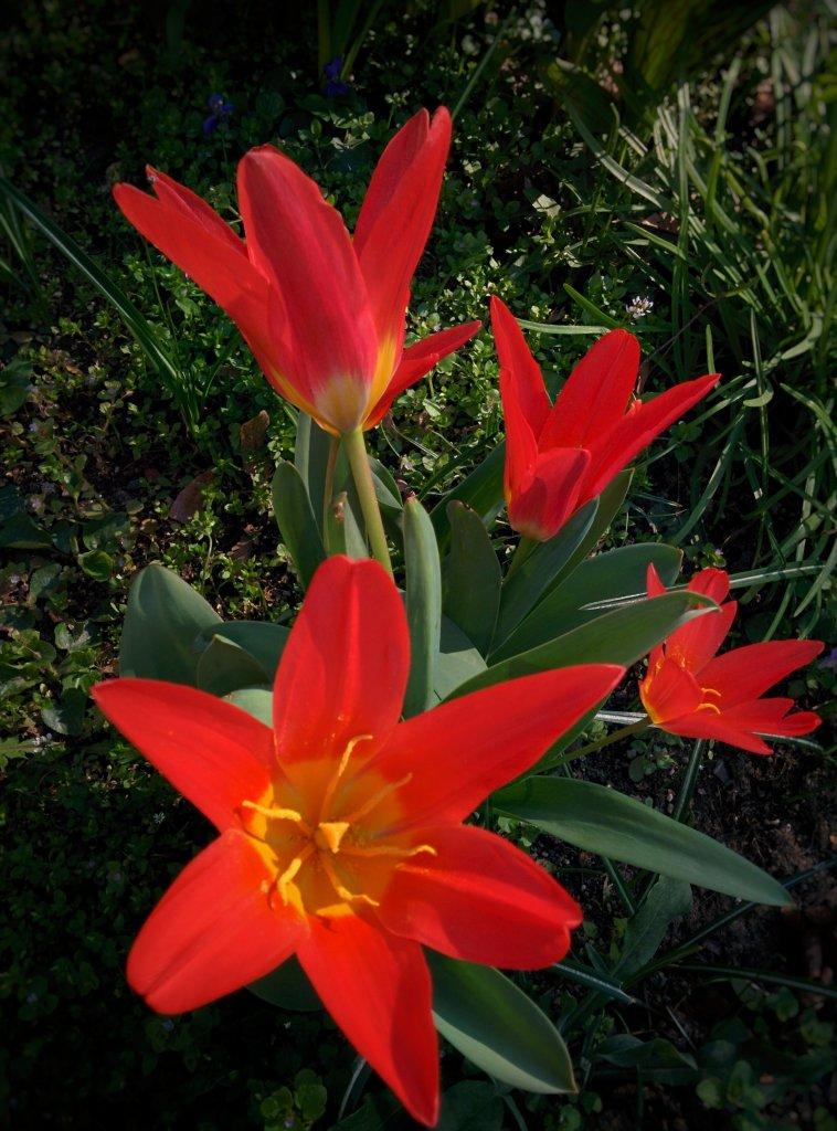 Info Shymkent - Wild tulips