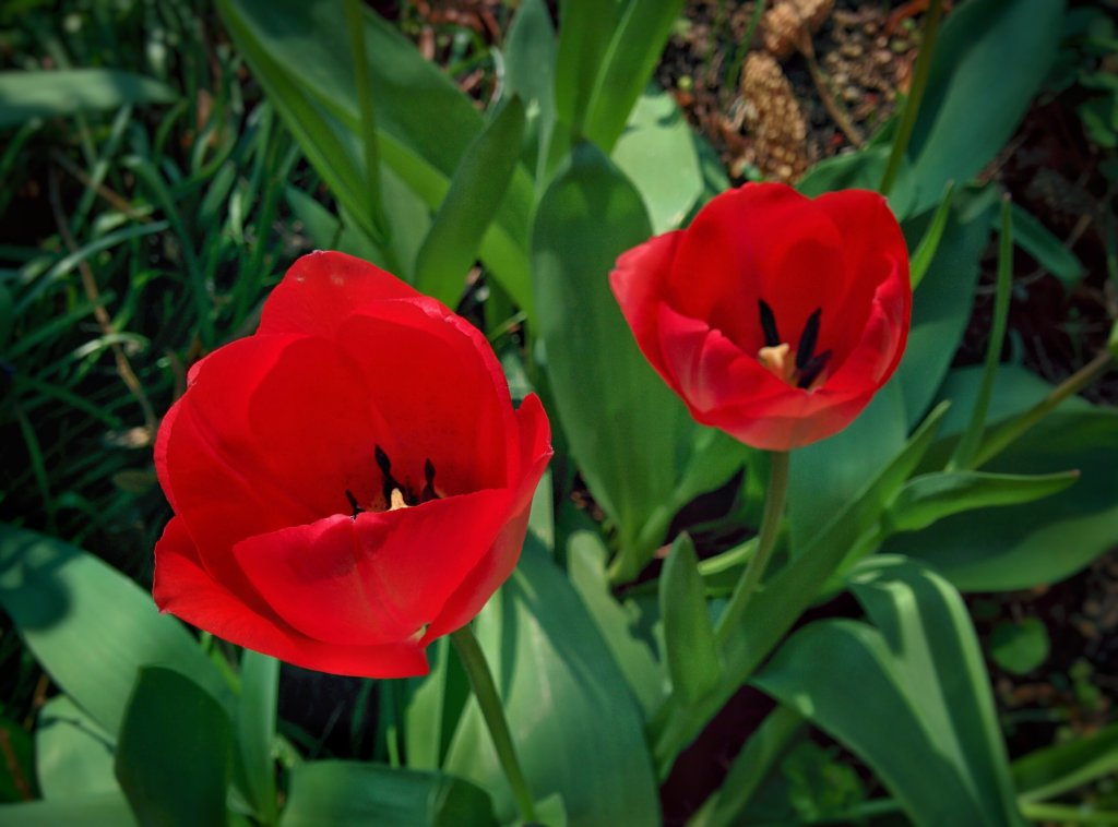 Info Shymkent - Typical Holland Tulips