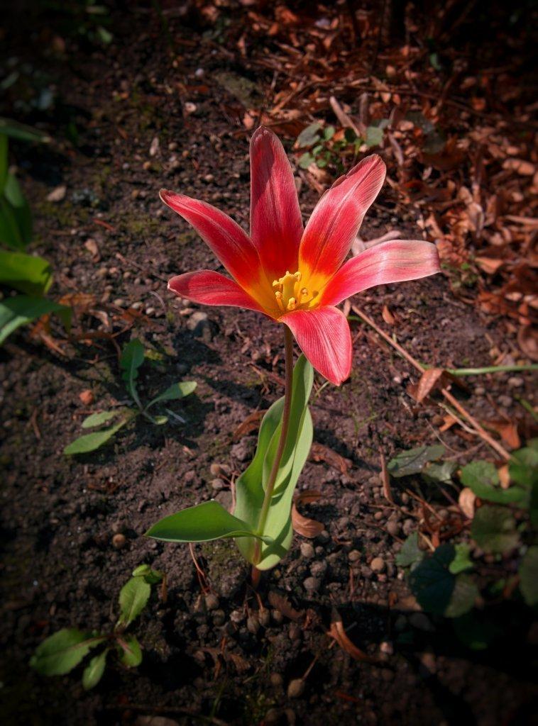 Info Shymkent - Wild tulip