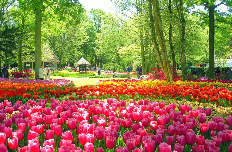 Tulips – From Red Hill to Keukenhof