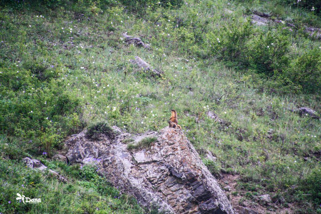 Info Shymkent - Marmots in the Sairam-Ugam national park (Photo: Dana Madalieva)