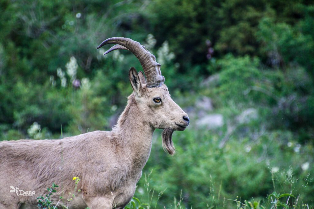 Info Shymkent - Sibirian Ibex in Kazakhstan's Sairam-Ugam National Park photographed by Dana Madalieva (Close up)