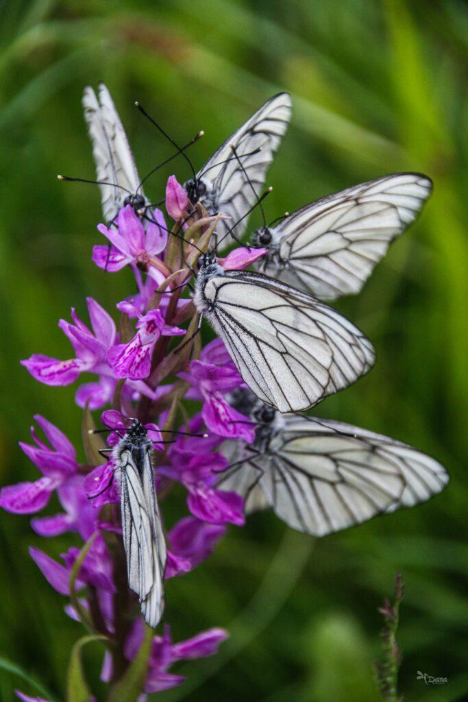 Info Shymkent - Butterflys on a wild flower in Kazakhstan (captured by Dana Madalieva)