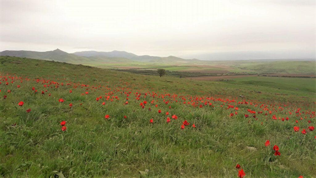 Info Shymkent - Wild tulip field near Shymkent in southern Kazakhstan (Image: Islam Kalani)