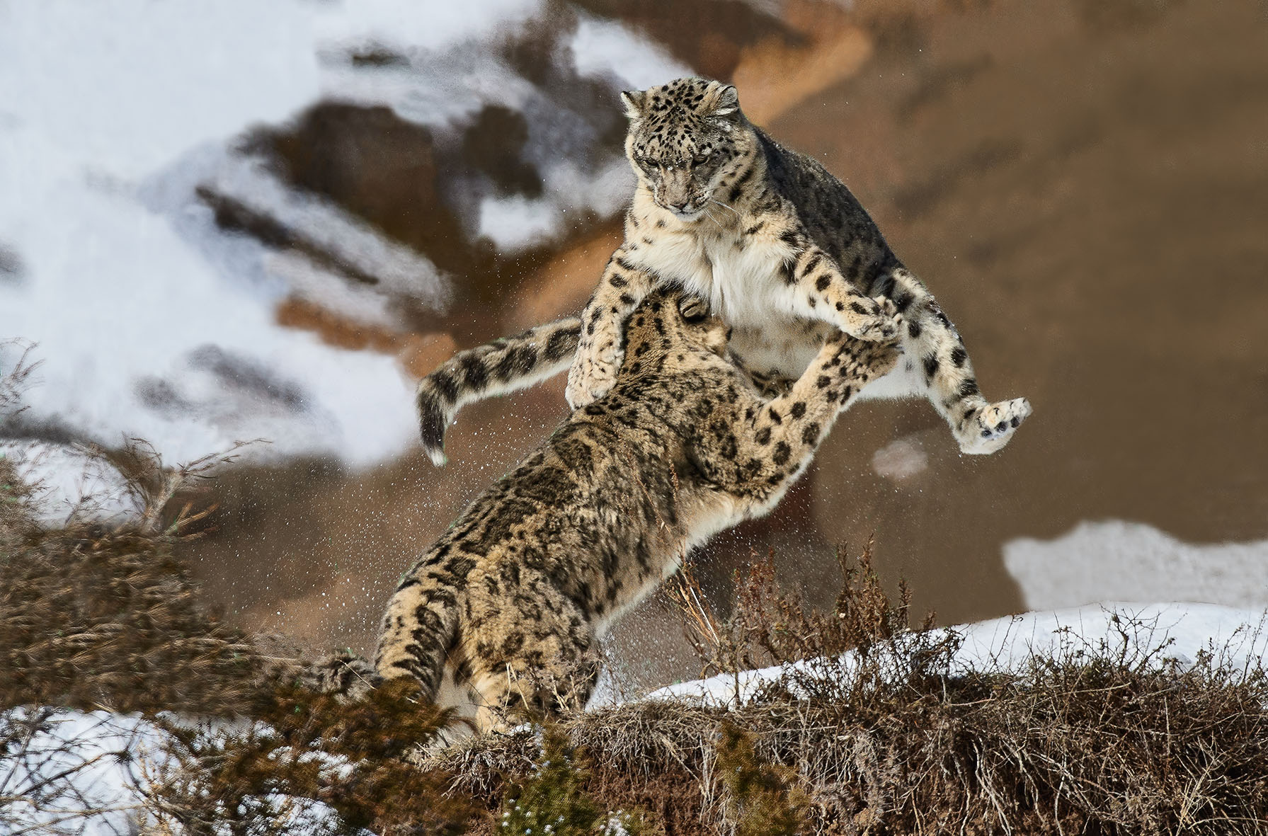 Info Shymkent - Snow Leopard fight in Kazakhstan captured by