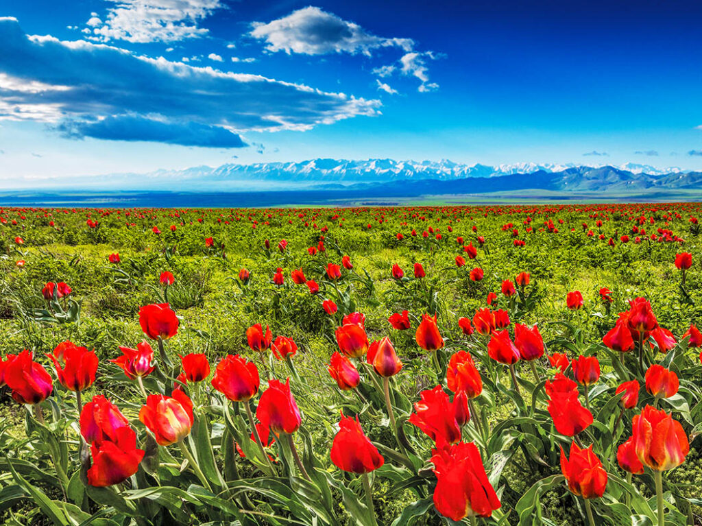 Info Shymkent - Wild tulip field in south Kazakhstan with Tian Shan Mountains in background (Image: Farhat Kabdykairov)