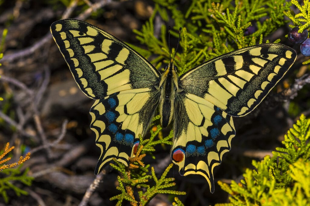Info Shymkent - Butterfly Papilio machaon centralis in the Tian Shan Mountains near Shymkent (Image: Farhat Kabdykairov)