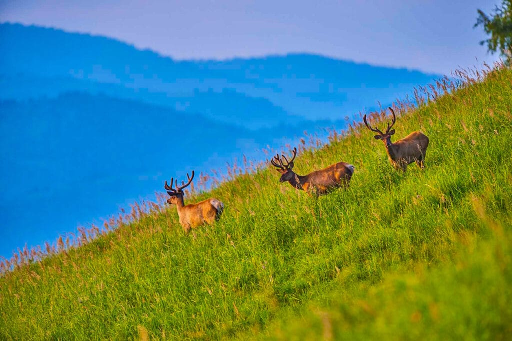 Info Shymkent - A group of deers in the Mountains of Kazakhstan (Image: Farhat Kabdykairov)