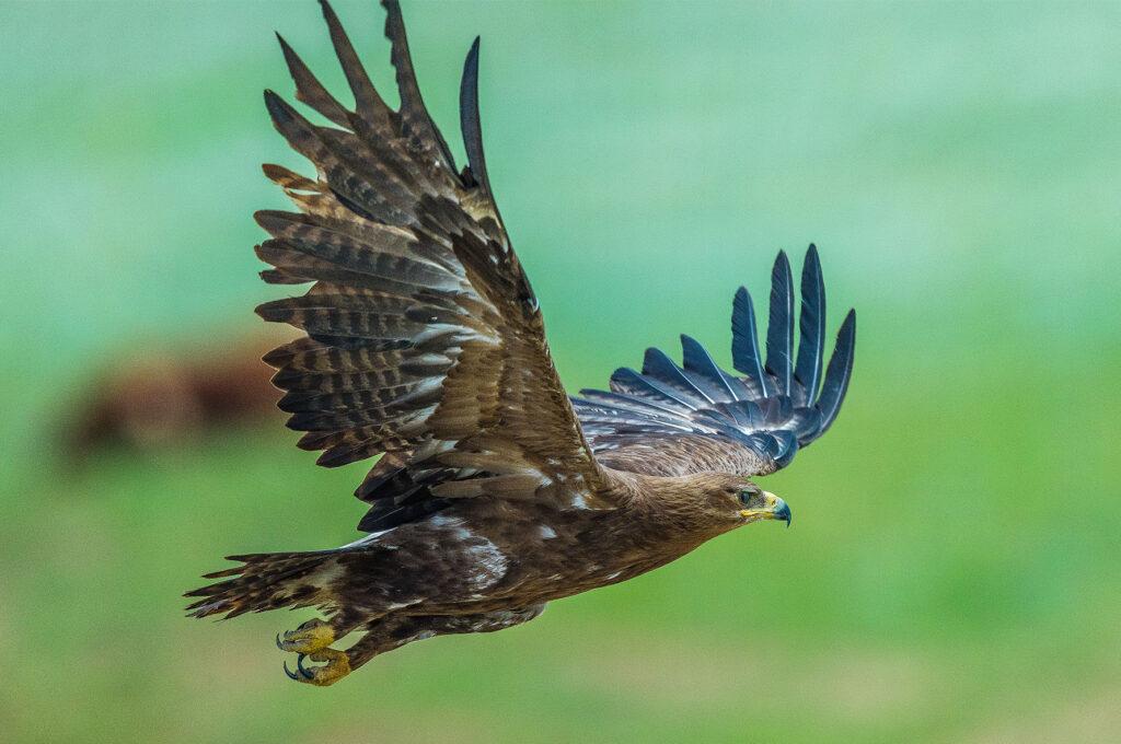 Info Shymkent - Eagle is flying in the Mountains near Shymkent in Kazakhstan (Image: Farhat Kabdykairov)