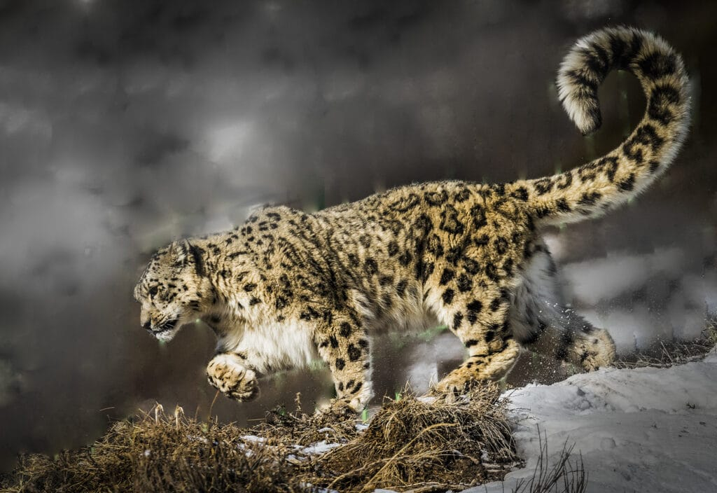 Info Shymkent - Snow Leopard in the Tian Shan Mountains near Shymkent in Kazakhstan (Image: Farhat Kabdykairov)