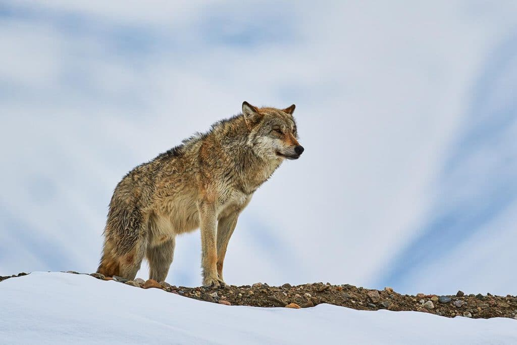 Info Shymkent - Wulf in the Tian Shan Mountains near Shymkent in Kazakhstan (Image: Farhat Kabdykairov)