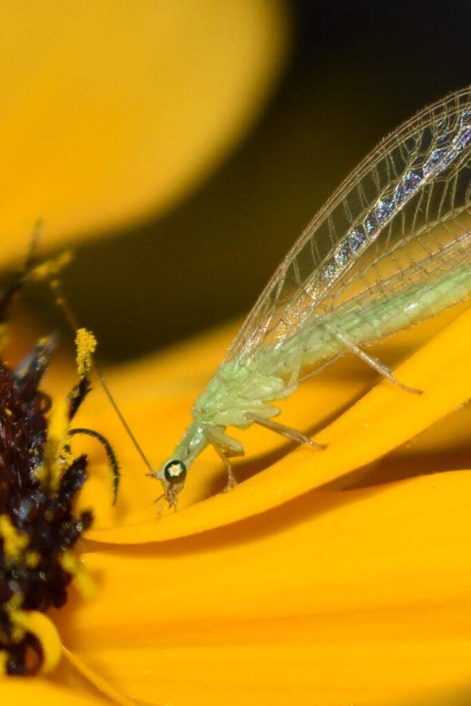 Info Shymkent - Green lacewing (Chrysopidae) near Shymkent in Kazakhstan (Photo: Qudaibergen Amirkulov)