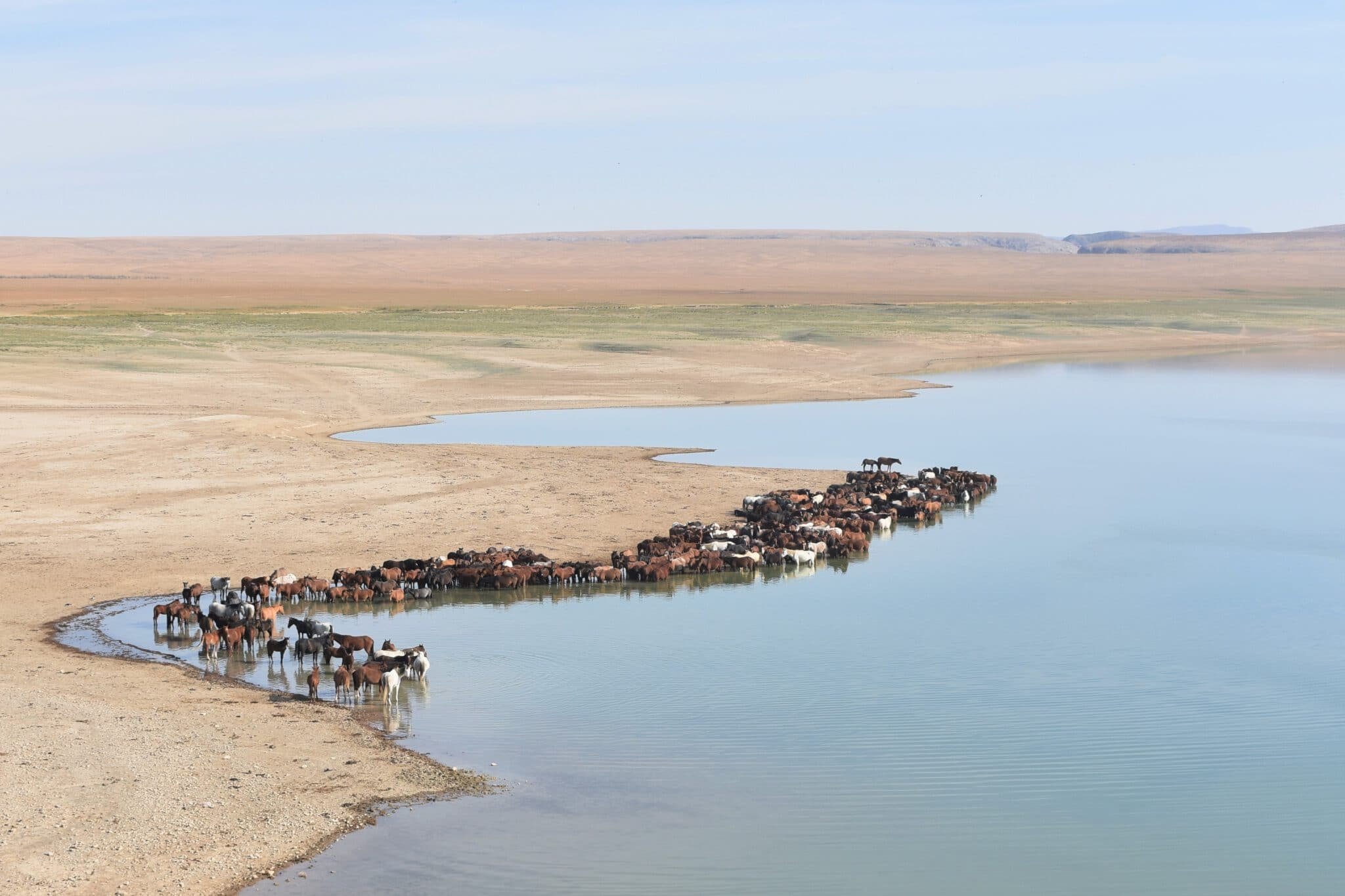 Info Shymkent - Horses (Equus caballus) at a River in the steppe near Shymkent in Kazakhstan (Photo: Qudaibergen Amirkulov)