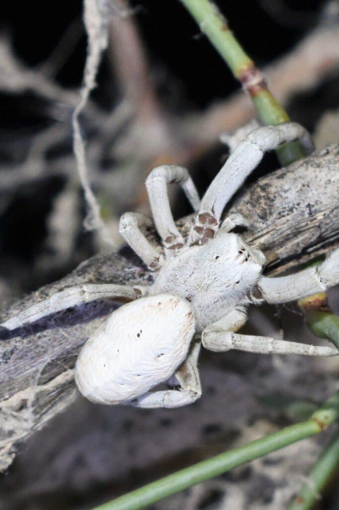 Info Shymkent - Spider Stegodyphus lineatus near Shymkent, Kazakhstan (Photo: Qudaibergen Amirkulov)